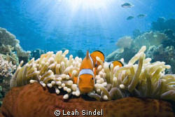 Amphiprion percula stares down the Tokina. by Leah Sindel 